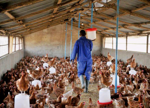 Bird Flu: Affected farmers will be compensated